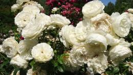 roses-2803284_960_720